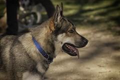 DSC_0047 (Harlum) Tags: boxer germanshepherd lab dogpark wolfhybrid husky malamute nikon nikond100 nikond5100 dogs