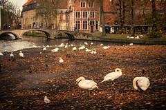 Cygnes d'automne / Swans of Automn (Gilderic Photography) Tags: bruges belgium belgique belgie swan cygne park autumn automne minnewater bridge city ville canon 500d gilderic