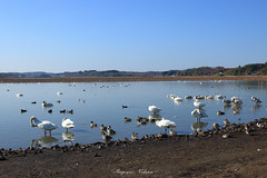 - In a relaxed mood (shig.) Tags: relaxe relaxed mood pond lake lakeside landscape bird birds swan swans blue bluesky water waterside