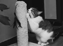 Scratching Post (Captured by AMK) Tags: cat cats feline felines blackandwhite project365