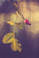 Hagebutte (Sascha Wolf) Tags: abendsonne hagebutte rot red strauch natur busch zeissikon talon bokeh dof