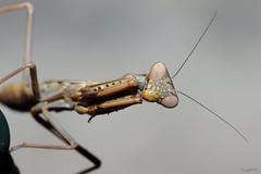 Mantide IV (Franco Gavioli) Tags: 2016 fragavio francesco gavioli canoneos600d canonef100mmf28macrousm yongnuoyn568exiiettl augusta sicilia sicily bug macro mantis mantide