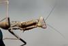 Mantide IV (Franco Gavioli) Tags: 2016 fragavio francesco gavioli canoneos600d canonef100mmf28macrousm yongnuoyn568exiiettl augusta sicilia sicily bug macro mantis mantide ruby5