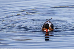 9Q6A9185 (2) (Alinbidford) Tags: alinbidford alancurtis brandonmarsh goldeneye cormorant greyheron heron shoveler greatcrestedgrebe kestrel shelduck wildfowl