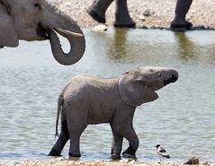 Etosha watering hole (pommyboi) Tags: 200500 2016 d7200 elephant namibia nikon etosha