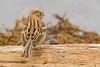 Record shot of a Field Sparrow (Spizella pusilla) - Colwood, BC (bcbirdergirl) Tags: bc bristishcolumbia fieldsparrow recordshot rare colwood vancouverisland spizellapusilla 2ndprovincialrecord esquimaltlagoon field sparrow passerine ticks bclifer