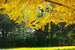 Autumn leaves VI (kazs2307) Tags: autumn leaf tree outdor autumnleaves yellow      plant