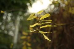 27.11.20 (Louise Lemettais) Tags: details normandie exterieur love pretty leaf tree garden grenn orange flou organisation canon