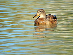 Hembra de Azulón (Anas platyrhynchos) (7) (eb3alfmiguel) Tags: aves acuaticas anade azulon hembra