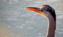 Reiger/Heron (Meino NL) Tags: reiger heron blauwereiger blueheron vogel aves