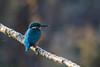 Bref passage (Jacques GUILLE) Tags: 09 alcedoatthis alcédinidés ariège commonkingfisher coraciiformes domainedesoiseaux martinpêcheurdeurope mazères bird oiseau