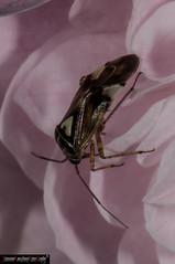 Lygus pratensis (frillicca) Tags: 2010 bug hemiptera heteroptera insect insetto july luglio lyguspratensis macro macrofotografia miridae montefiasconevt insetti