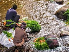 Munnar Life (mohammedali47) Tags: munnar carrot morning water nature orange washing fresh