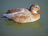 Hembras de  (4) (eb3alfmiguel) Tags: aves acuaticas anade