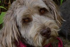 Ruby, our Aussie-doodle protector! (birdgal5) Tags: california nikon ruby placercounty d4 tahoenationalforest polecreek 105mmf28gvrmicro aussiedoodle nikond4 tahoenf jaynehahinsdog 7milessouthoftruckee