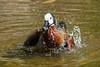 20150809_34 - plantschen (grasso.gino) Tags: bird nature water animals zoo tiere nikon wasser natur goose gans dortmund vogel splashing whitefacedwhistlingduck plantschen d3000 witwenpfeifgans