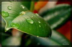 Tears (Rawia El-Turke) Tags: summer plant colour green nature water leaf nikon waterdrop colours natural waterdrops waterdroplet d40