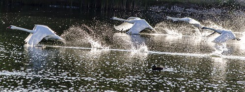 In Flight At Swan Lake, Derbyshire