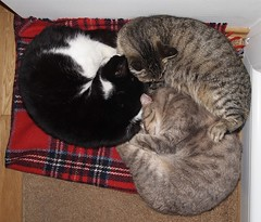 Triskelion (RECTANGULAR ART) Tags: sleeping cats cute cat three furry trio lying triskelion headtohead sleeptogether