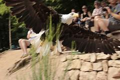 _MG_0075a - 23.08.2015 (hippo1107) Tags: summer canon eos sommer august greifvgel 2015 greifvogel flugshow 70d weiskopfseeadler flugvorfhrung greifvogelparksaarburg canoneos70d