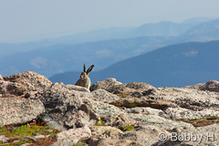 September 6, 2015 - A White-tailed Jackrabbit makes a surprise appearance on Mount Evans. (Bobby H)