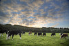 Mooving On   251/365 (rmrayner) Tags: sky field evening countryside cow september devon pasture bullocks day251 365project 251365 365the2105edition