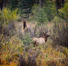 Seeing Double (laura's POV) Tags: autumn fall nature wildlife wyoming elk grandtetonnationalpark bullelk lauraspointofview lauraspov