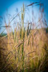 Big Bluestem (Andropogon gerardii) (acryptozoo) Tags: plants plant grass grasses poaceae bigbluestem liliopsida magnoliophyta turkeyfoot andropogon andropogongerardii poales huffmanprairie