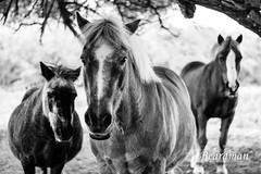 Cheval 2 (beardman626) Tags: horses horse cheval gang chevaux