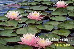 Myra4a (Waterlelie.be) Tags: westvirginia myra verenigdestatenvanamerika noordamerika mikegiles nymphaeamyra