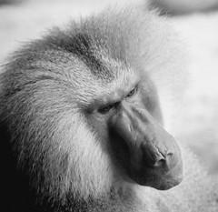 SINGAPORE MONKEY BLACK AND WHITE (patrick555666751 THANKS FOR 6 000 000 VIEWS) Tags: monkey singapore black and white patrick roger blanco y negro bianco e nero noir et blanc schwarz und weiss preto branco tiere dieren animali animal animals animaux i negre flickr heart group faune fauna worldwide patrickroger patrick555666751 patrick55566675