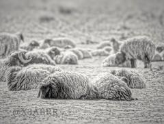 # # #Sheep #lamb #animal #animals  #  #blackandwhite #bw #hdr #nature #photography #petsandanimals #quotesandsayings # # # # # # # # # # # # #_ # #__ (photography AbdullahAlSaeed) Tags: blackandwhite bw nature animal animals landscape photography photo sheep photos nypd lamb hdr evacuate prosecutor  petsandanimals         jihadists   accomplices     lumped     quotesandsayings   prayforhumanity    standwithparis