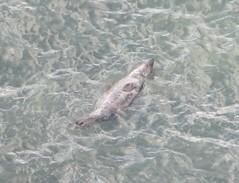 Sunbathing Seal off the Pembrokeshire Coast (Vertigo Rod) Tags: sea wales swimming swim coast westwales walk wildlife cymru hike seal pembrokeshire