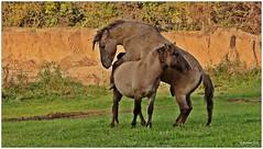 Millingerwaard (NL) - Koniks (Babaou) Tags: natur nederland niederlande waal gelderland niederrhein konik millingen millingerwaard konikpaarden geldersepoort naturgebiet kekerdom konikwildpferde