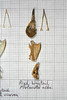 PiedWagtail2 (JRochester) Tags: skeleton skull alba bones bone pied pelvis wagtail sternum mandible motacilla