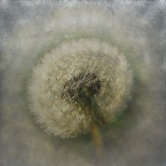 Dandelion (mamietherese1) Tags: expression sensational ourtime expressyourself callingallangels world100f phvalue 200v200c2000v fugitivemoment untouchabledream itsallaboutflowers extraordinarilyimpressive odetojoyodeàalegria artcityartists