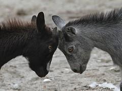 Chèvre domestique / Capra hircus / Goat (Laval Roy) Tags: africa goat ghana mammals afrique mammifères caprahircus bovidés artiodactyles eos7d chèvredomestique ef300mm14lisextender14xiii lavalroy