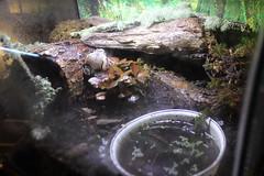 IMG_0099 (J_turner6) Tags: tank painted amphibian toads frogs info setup care firebelly vivarium bullfrog gutteral
