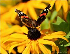 Vanessa Atalanta (Hindrik S) Tags: flower nature yellow butterfly insect iso100 sony natuur creation gelb tamron 90mm geel f28 blackeyedsusan atalanta schmetterling vlinder bloem giel 12000 a57 natuer rudbeckiahirta schpfung blom schepping schemetterling sonyalpha tamronspaf1750mmf28xrdiiildasphericalif flinter ynsekt skepping nmerflinter