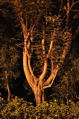 gorgeous tree by sodium light (olive witch) Tags: india tree night outdoors december goa portfolio sodium dec15 galf 2015 abeerhoque litfest galf2015