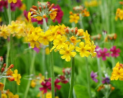 Primula Candelabra's (eric robb niven) Tags: flowers summer flower scotland dundee outdoor primula candelabras ericrobbniven