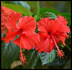 Hibiscus adding colour to garden plants (indianature13) Tags: india flower nature december hibiscus bombay maharashtra mumbai gardenplant 2015 indianature