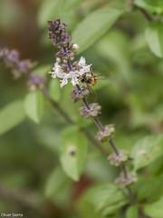 Abeja (sierra.oe87) Tags: albahaca abeja vuelo