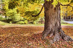 Old Maple (Sunset Sailor) Tags: maple tree fall autumn newengland leaves