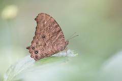 Melanitis leda (fabriciodo) Tags: melanitisleda commoneveningbrown butterfly macro nature farfalle papillon lepidoptera sigma150 schmetterlinge