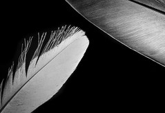 Back lighting, feathers (Simon-Foster) Tags: backlighting backlit backlight backlitmacro bw light white black feathers feather lit back macro lighting mondays