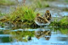 2 of the 4 Wilson Snipe's (Underock) Tags: wilsonsnipe d7000 sigma150500 nikon birding millpond reflection ncg nationalgeographic fantasticnature nature wildlife