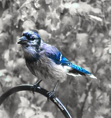 2016-10-02_07-05-03 (tpaddison1) Tags: bluejay bird birds