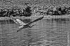 Gray Great Blue (brev99) Tags: tamron70300vc flare tulsa d7100 perfecteffects10 ononesoftware colorefex silverefex greatblueheron birdinflight highqualityanimals bif wings water pond crescentpark