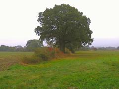 Eiche in den Wiesen - oak (Sophia-Fatima) Tags: segrahnerberg sophienthal schleswigholstein deutschland oak eiche wiesen felder fields baum tree